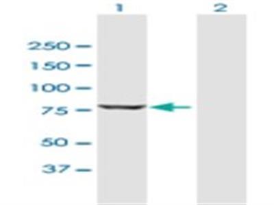 PUS7L Antibody