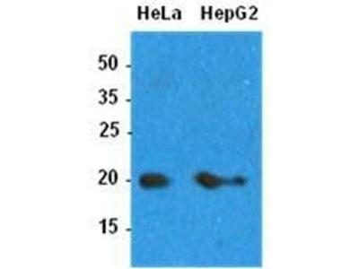 anti-ARF1 (ADP-ribosylation factor 1) antibody