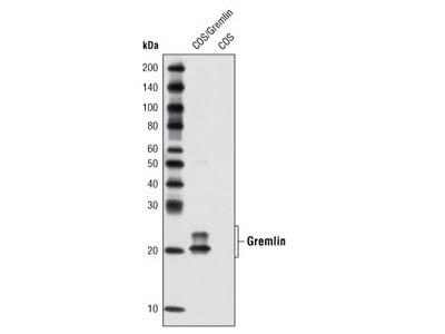 Gremlin Antibody