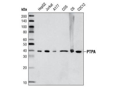 PTPA/PPP2R4 Antibody