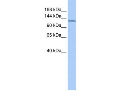 anti-nucleoporin 155kDa (nucleoporin 155) antibody