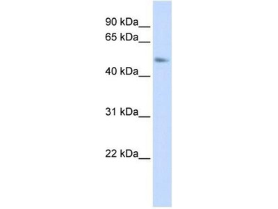anti-C15orf27 antibody