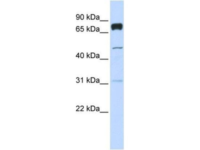 anti-Pleckstrin Homology Domain Containing, Family A (phosphoinositide Binding Specific) Member 4 (PLEKHA4) antibody