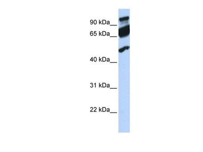 anti-Era G-Protein-Like 1 (E. Coli) (ERAL1) antibody