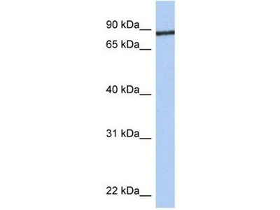 anti-junctophilin 1 Antibody