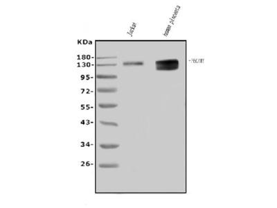 Anti-CD31/PECAM1 Picoband Antibody
