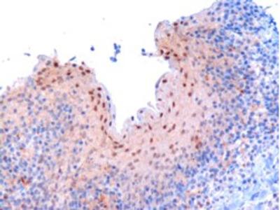 RANBPM Polyclonal Antibody