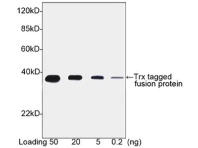 Thioredoxin / TRX Tag Antibody