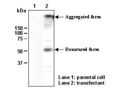 Anti-SLC7A7 (y+LAT1) (Human) pAb