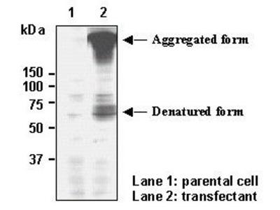Anti-SLC6A3 (DAT1) (Human) pAb