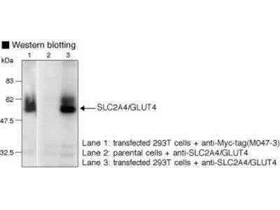 Anti-SLC2A4 (GLUT4) (Human) pAb