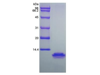 CCL18 / PARC Biologically Active Protein