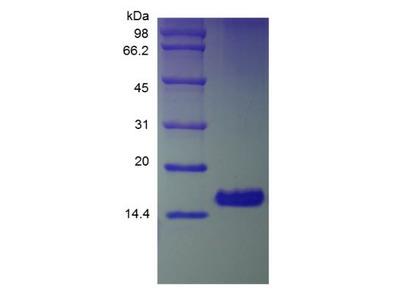 Amphiregulin Protein