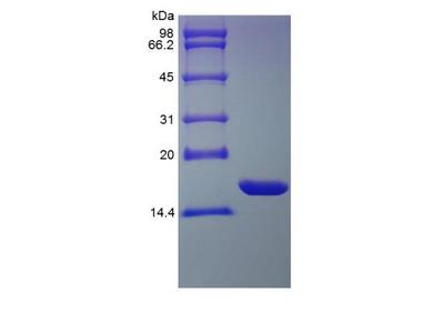 IL-1 alpha /IL-1F1 Protein