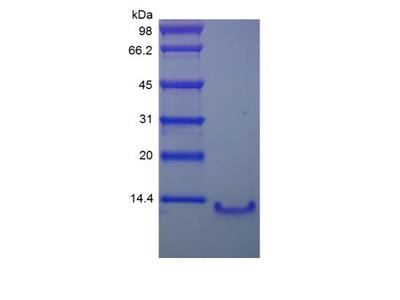 CCL4L1 / LAG-1 Protein