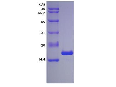 IL-1 alpha / IL-1F1 Protein