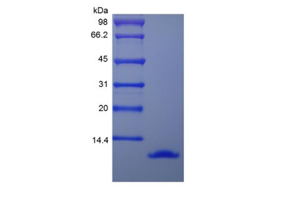 CCL3 / MIP-1 alpha Biologically Active Protein