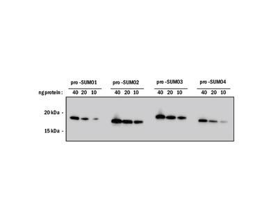 SUMO Pan Specific Antibody