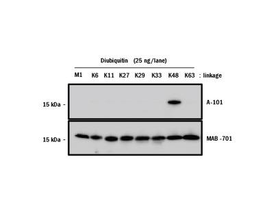 Ubiquitin K48 Linkage Antibody