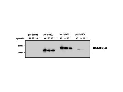 SUMO2 / 3 Antibody