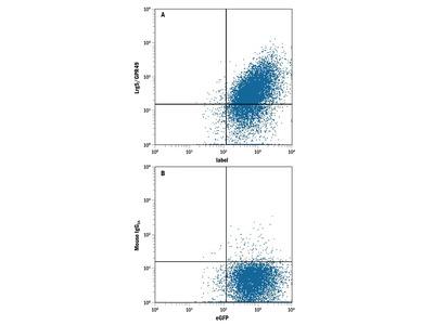 Human Lgr5 / GPR49 Antibody