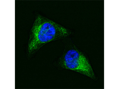 Vimentin Alexa Fluor 488-conjugated Antibody