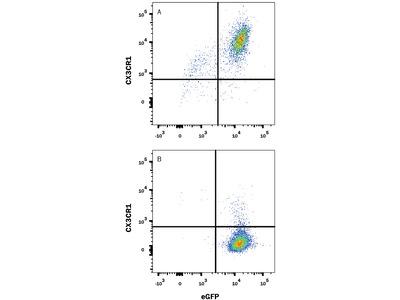 CX3CR1 APC-conjugated Antibody