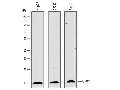 UFM1 Antibody