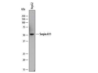 Serpin A11 Antibody
