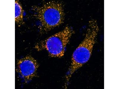 Human LAMP-2 / CD107b Biotinylated Antibody