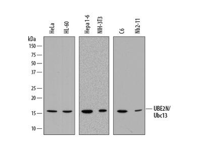 UBE2N / Ubc13 Antibody