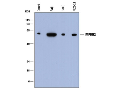 IMP Dehydrogenase 2 / IMPDH2 Antibody