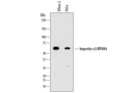 Human Importin alpha 3 / KPNA4 Antibody