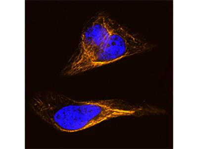 Vimentin Biotinylated Antibody