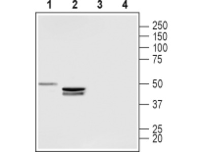 Anti-LPAR3 (EDG7) (extracellular) Antibody