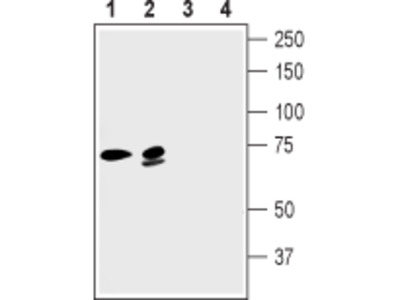 Guinea pig Anti-KCNN2 (KCa2.2, SK2) Antibody