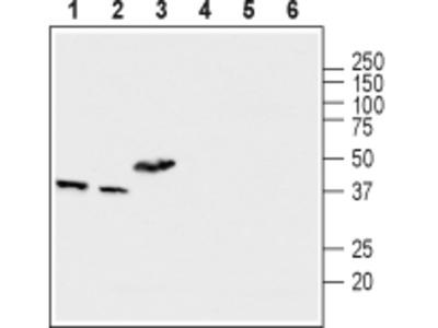 Anti-MCUR1 (CCDC90A) Antibody