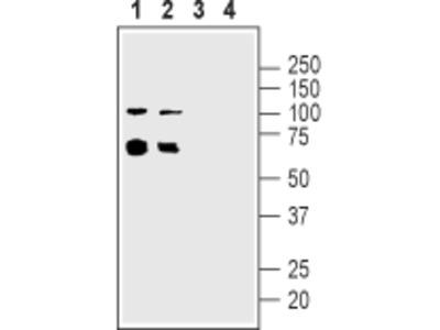 Anti-Nicotinic Acetylcholine Receptor alpha5 (CHRNA5) (extracellular) Antibody