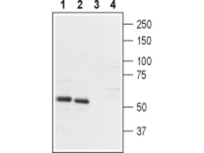 Anti-PTH2R (extracellular) Antibody