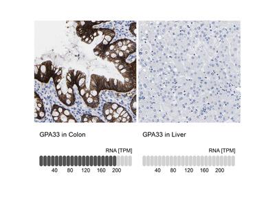 Anti-GPA33 Antibody