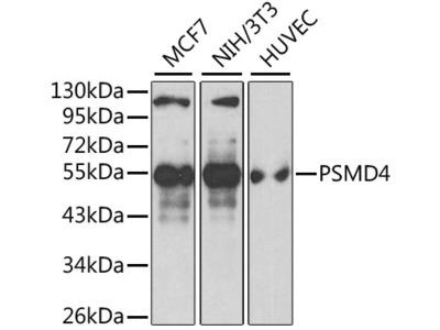 PSMD4 Polyclonal Antibody