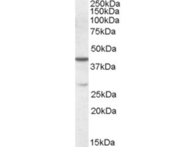 Cbx8 Antibody