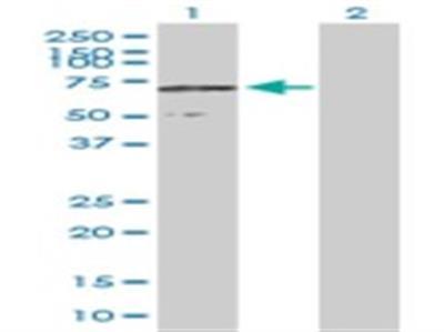 CCDC155 Antibody