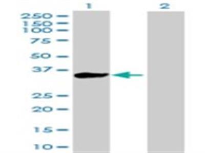 Kelch-Like 3 Antibody