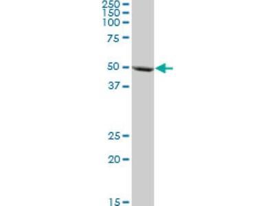 Cytochrome P450 3A5 Antibody