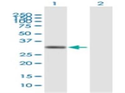ZAG Antibody