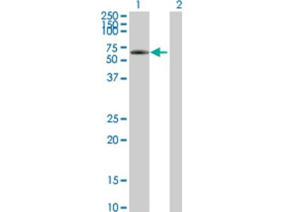 SNED1 Antibody