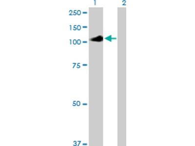 IL-12 R beta 2 Antibody