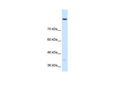 COBLL1 antibody - N-terminal region (ARP42423_P050)