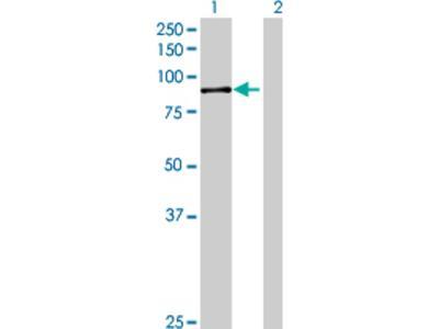GPCPD1 Antibody